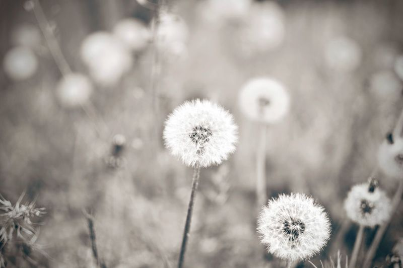 Dandelion Dandelion Field Dandelion Seeds Dandelionfluff Monochrome Nature The OO Mission