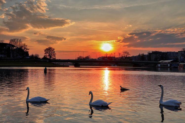 Birds in lake during sunset