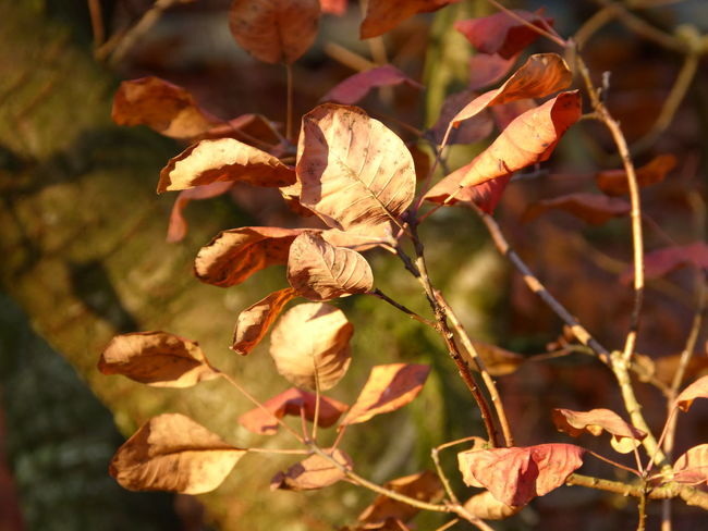 Autumn leaves - Herbstblätter - Aurich Ostfriesland North Sea Nordsee Blatt leaf brown braun Herbststimmung Herbstblatt sonnig suny fairy magic garden farm Bauerngarten Landleben landlife branches Zweige Äste Ast Zweig tree trees Baum Bäume bush bushes Busch trocken dry evening sun Abendlicht Selective Focus Focus On Foreground Plant Close-up Leaf No People Day Nature Outdoors Sunlight Freshness Plant Part Growth Beauty In Nature Autumn Autumn colors Autumn Leaves Garden Collection Anne Janßen Leaves Blatt Blätter Herbst Herbststimmung Ostfriesland Ostfriesland Landschaft