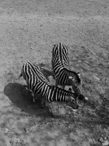 Two Zebras Two Zebras Zebra Zebra Stripes High Angle View Black And White Black & White Zoo Zoophotography Zoology Wildlife Bw5filter EyeEm App Excellent Shot Black And White Photography EyeEm Best Shots - Black And White Fresh on Market 2017 In France