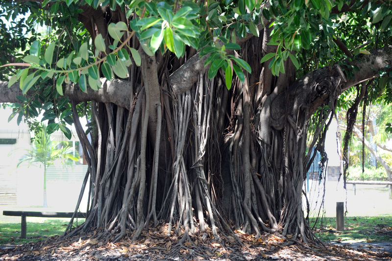 air root Australia Luftwurzeln Nature Photography Tree Air Roots Beauty In Nature Beeindruckender Baum Day Down Under Environment Forest Growth Land Nature No People Outdoors Plant Sunlight Tree Tree Trunk Trunk