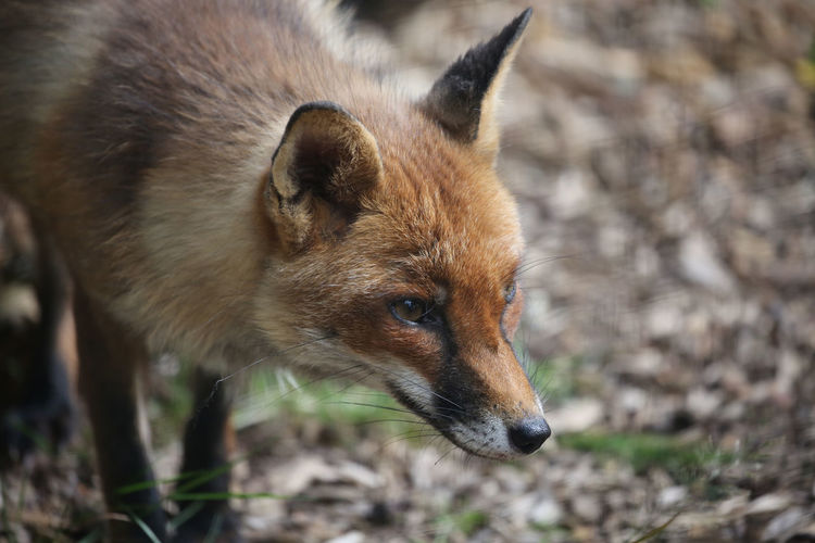 My new friend. So much i could say about the fox and i'm sure in his own way, much about me. For now i think companionable silence and curiosity is simply wonderful. Nature Red British Wildlife Curious Fox Furry Intent One Animal Watchful Wildlife