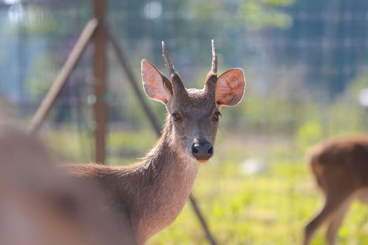Deer on Farm Deer Deer Park Animal Wildlife Mammal Animals In The Wild Vertebrate Group Of Animals Nature Portrait Two Animals Focus On Foreground No People Herbivorous Day Young Animal Domestic Animals Kangaroo Fawn Animal Family