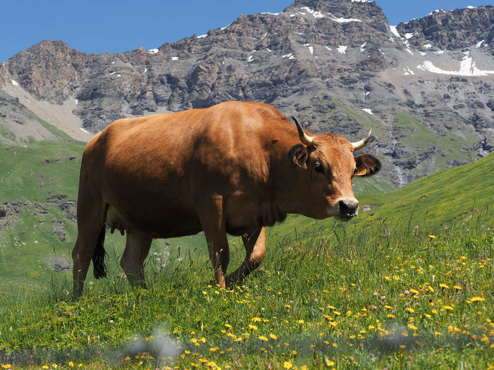 Cow standing on field against mountain