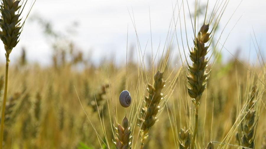 Snail on wheat plant against sky