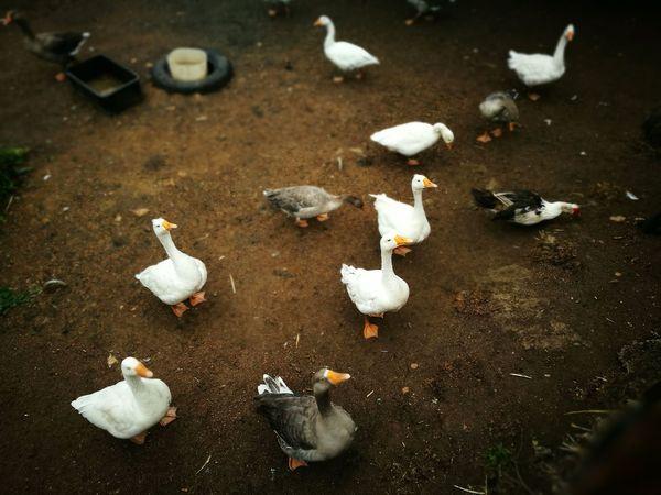 Farmyard Animals Animal Themes Beauty In Nature Outdoors Bird