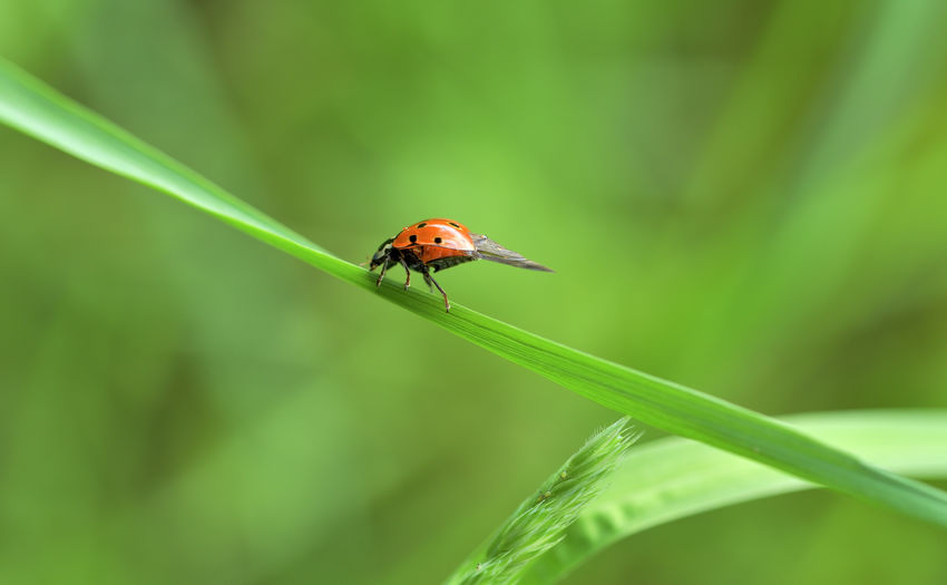 The ladybug as a lucky charm on May 1st Invertebrate Insect Animal Wildlife Animals In The Wild Animal Themes One Animal Animal Green Color Close-up Plant Focus On Foreground Day No People Nature Beauty In Nature Growth Beetle Selective Focus Ladybug Plant Part Blade Of Grass EyeEm Nature Lover Eyeem Insects EyeEm Best Shots Grass Stalk Nature Photography Lucky Lucky Charm Lady Beetle Makro Photography Nikonphotography Nikon Photography Environment Enjoying Life Biological Biodiversity Springtime