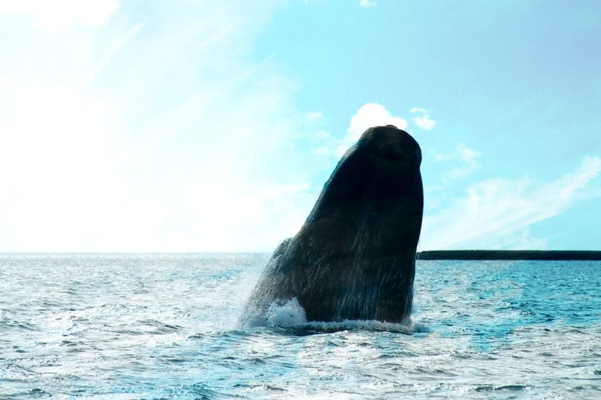Animal Head  Animal Themes Animals In The Wild Beauty In Nature Day Horizon Over Water Majestic Nature No People One Animal Outdoors Rippled Sea Sea Life Swimming Water Whale