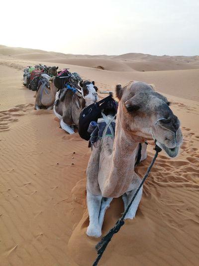 camel gangster at Sahara desert Soonjourney MyWanderLust Trip Camp Travel Africa Morocco Desert Sahara EyeEm Selects Sand Dune Desert Sand Arid Climate Adventure Camel Sky Landscape Travel