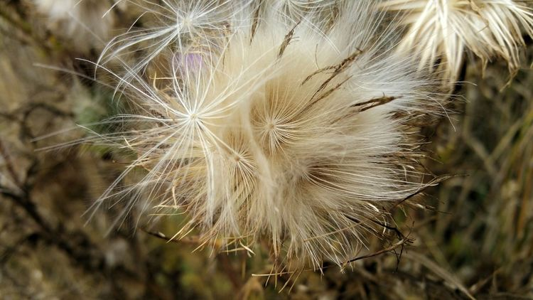 Downy Wispy Fluff. Nature recreating itself. Seeds. Thistle Fluff Seeds Decay Rebirth New Beginings Background Pattern Design White Tan Nature Zen Foreground Focus Angled Countryside Flower Head Flower Uncultivated Full Frame Softness Dandelion Dandelion Seed Close-up Plant In Bloom Botany Stamen Plant Life Focus