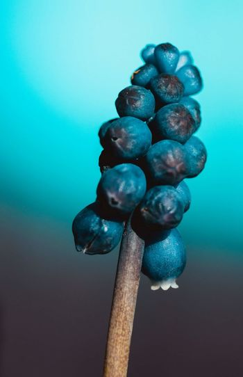 Close-up of grapes against blue background