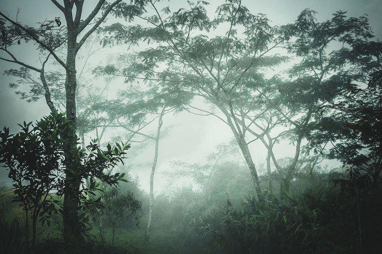 Haze. Haze Fog Mist Tree Branch Tree Area Fog Forest Rural Scene Social Issues Leaf Morning Sky Rainy Season Treetop