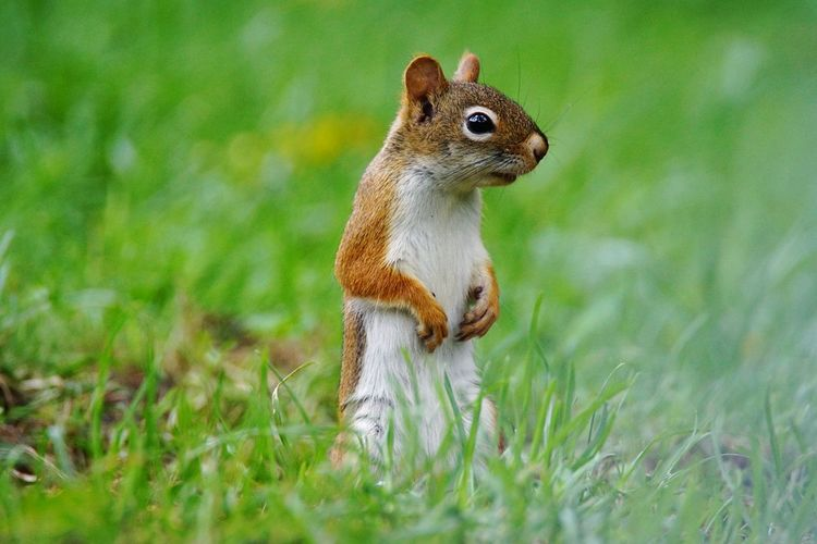 Eurasian red squirrel on grassy field