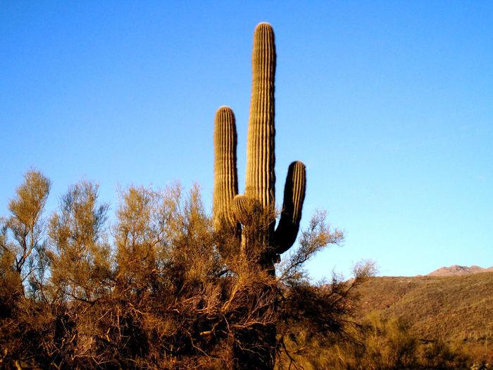 Saguaro Cactus On Field Against Clear Blue Sky