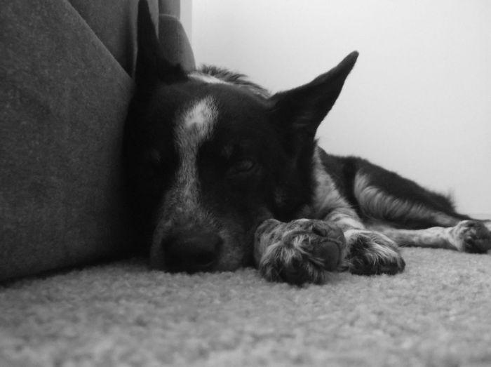 My dog Zoe #blue Heeler #cow Dog #dog