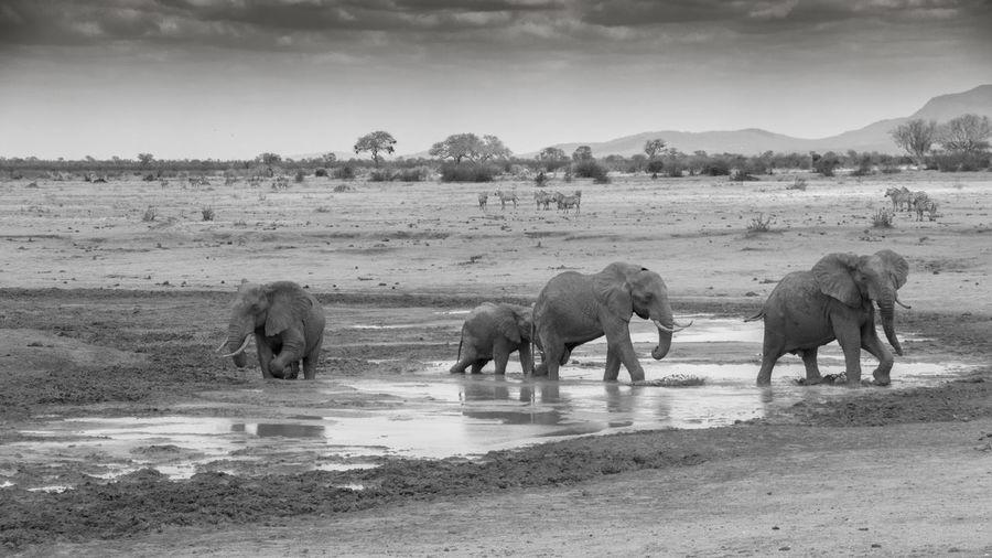 Elephants on wet landscape against sky