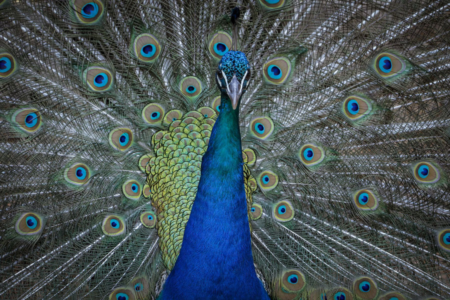 50+ Peacock Feather Pictures HD | Download Authentic Images