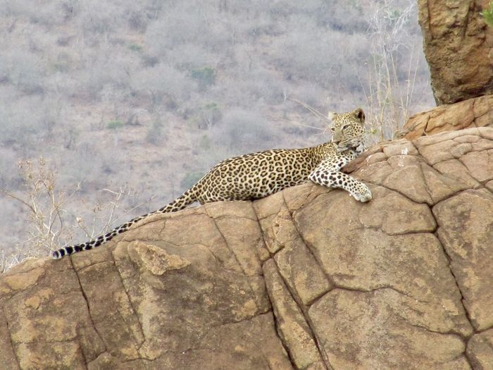 Animal Themes Animal Wildlife Animals In The Wild Day Leopard Leopard On The Rock Mammal Nature No People One Animal Outdoors Safari Animals Spotted