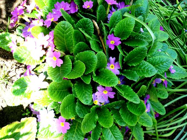 Flowers 🌸 Beauty In Nature Nature Outdoors Flower Freshness Leaf Plant Springtime Fragility Beautiful World Sunlight Wonderful Nature Peaceful Morning Home LovetheSimpleThings Naturelover Ownphotos Beauty In Nature Grass Garden