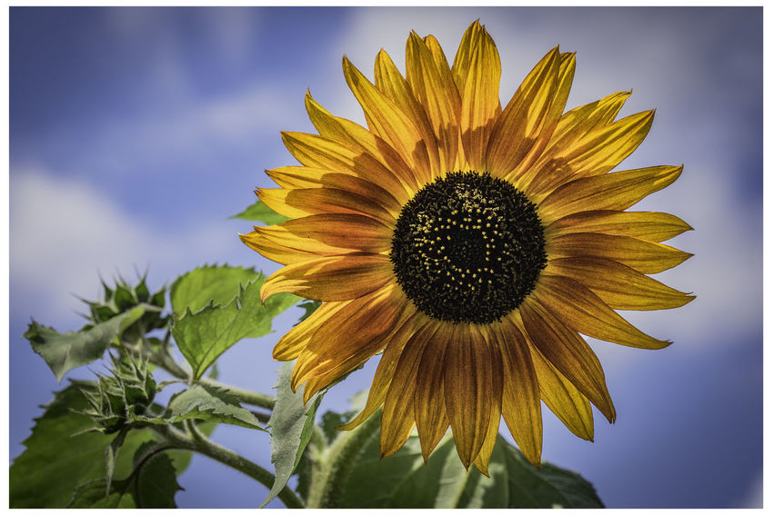 Garden flowers Sunflower Beauty In Nature Close-up Flower Flower Head Flowering Plant Fragility Freshness Growth Inflorescence Nature No People Outdoors Petal Plant Pollen Sepal Sky Sunflower Transfer Print Vulnerability  Yellow