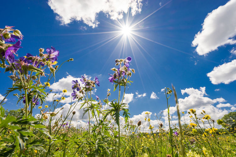 Beauty In Nature Blooming Blossom Blue Cloud - Sky Day Field Flower Flower Head Fragility Freshness Growth Lens Flare Low Angle View Nature No People Outdoors Plant Sky Springtime Sun Sunbeam Sunlight Tranquility Tree