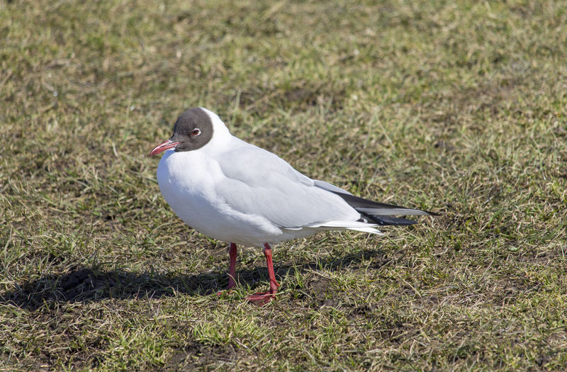 Brown-headed gull Animal Animal Themes Animals In The Wild Bird Brown-headed Gull Close-up Nature One Animal Seagull