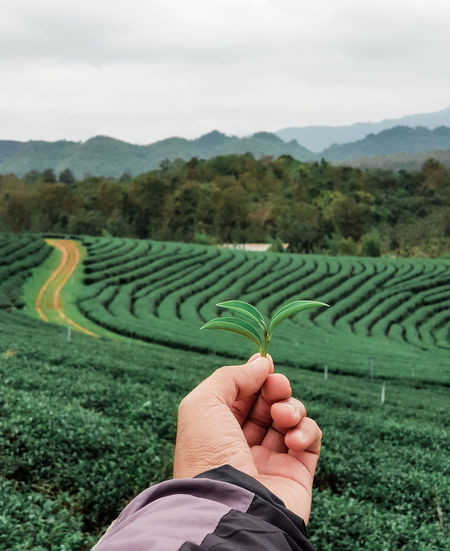 Close-up of person holding tea crop against sky