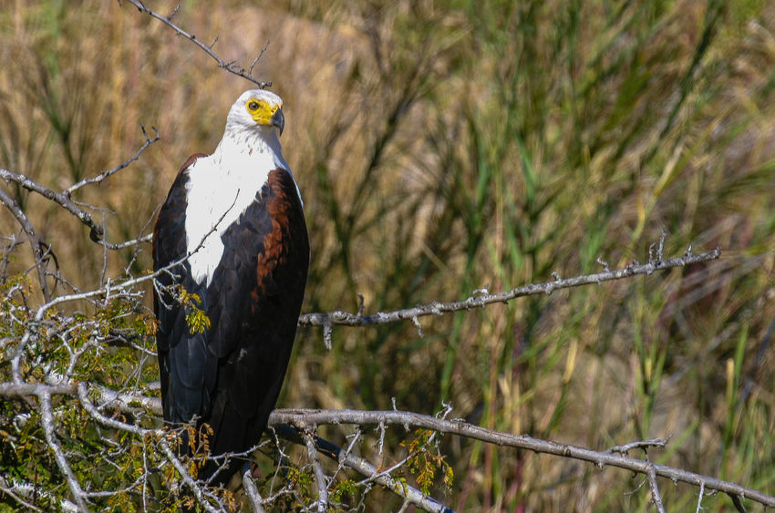 Animals In The Wild Bird Animal Themes Vertebrate Bird Of Prey Focus On Foreground Nature Eagle - Bird Africa African Fish Eagle South Africa