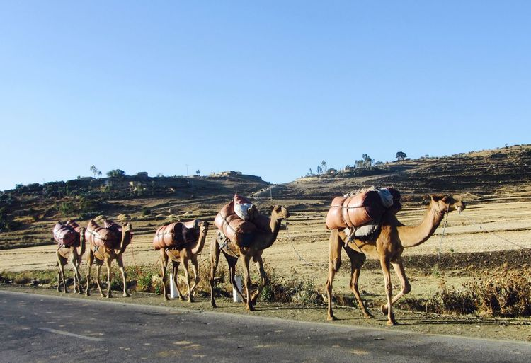 Aethiopia Animal Themes Camels Caravan Clear Sky Day Domestic Animals Large Group Of Animals Mammal Nature No People Outdoors Road Sky Street Togetherness
