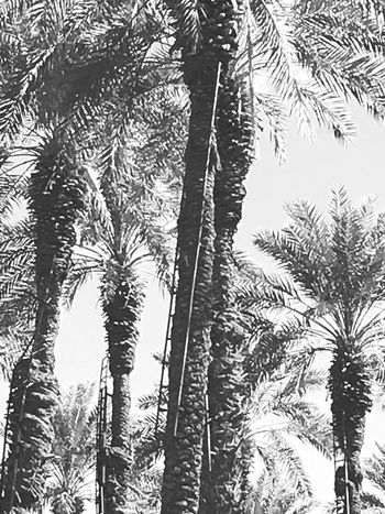 Date palming Tree Nature Beauty In Nature Growth Low Angle View Outdoors Date Palms Blackandwhite Photography No People Sky Tranquility Day Branch