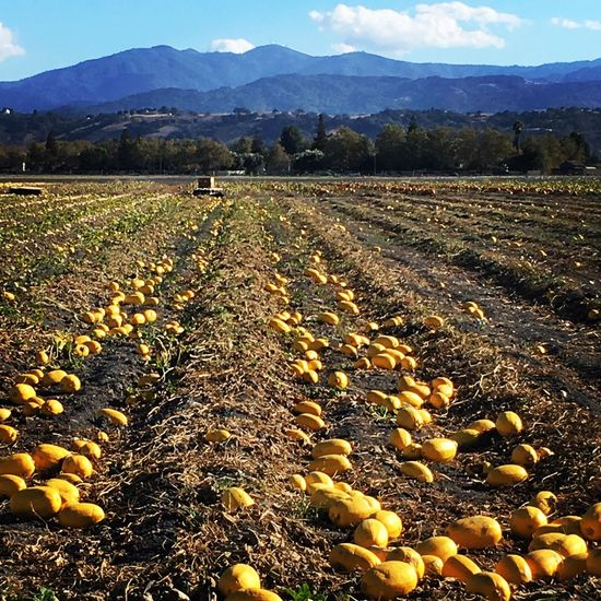 Fall is coming! San Jose Agriculture Squashes Spaghettisquash