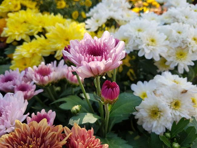 Chrysanthemum flowers. Chrysanthemum Close-up Flower Nature Fresh