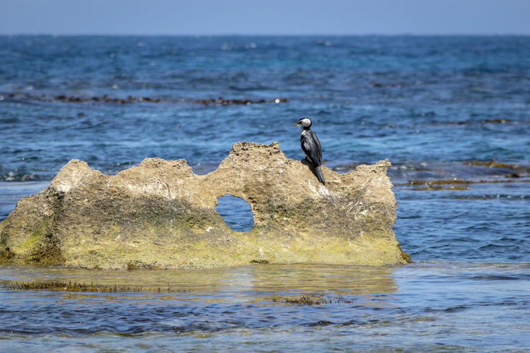 shag perched on the rock formation enjoying the sun Coastal Life EyeEm Best Shots Animal Animal Themes Animal Wildlife Animals In The Wild Bird Coastal Feature Day Horizon Horizon Over Water Land Nature No People One Animal Outdoors Rock Rock - Object Sea Shag Sky Solid Vertebrate Water Water Bird