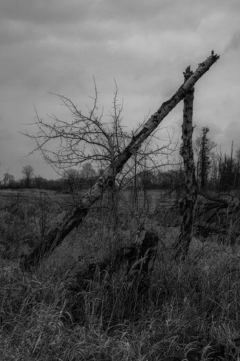birch triangle