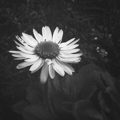 Blackandwhite Simplicity TheLoneFlower Flower Collection Darkness And Light Flowerlovers Photographylovers Takingpictures Blackandwhite Photography Macro_collection Macro_flower