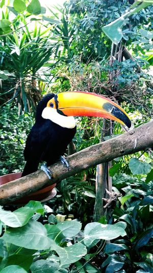 Riesentukan Toucan Toco Bird Beautiful Nature Love Beautiful Cute Amazing Gorgeous Great