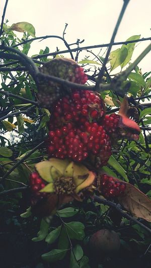 Green Outdoors Plant Green Color Lush Foliage Pomegranate Fall Red
