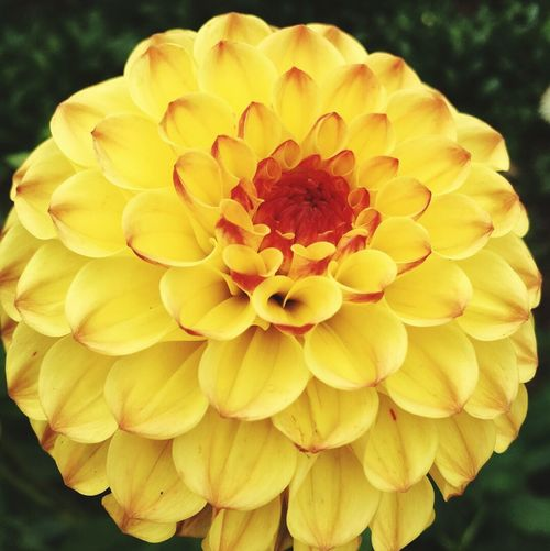 Paint The Town Yellow Flower Petal Flower Head Beauty In Nature Fragility Freshness Growth Nature Yellow Blooming Close-up Plant Pollen Focus On Foreground Dahlia Outdoors No People Day Springtime Zinnia