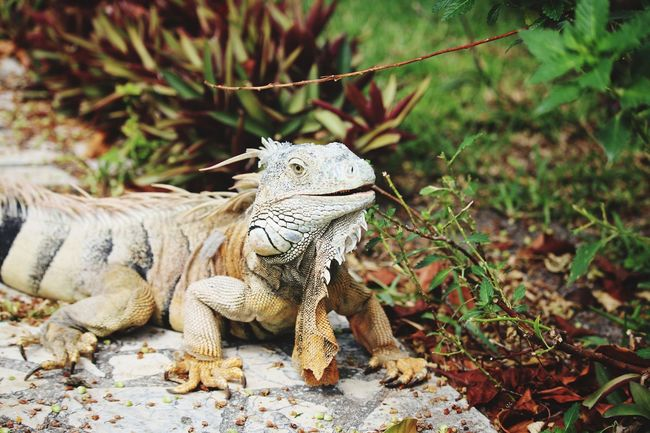 hey there EyeEm Selects Iguana Reptile Lizard Close-up