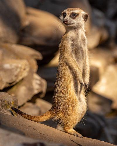 Meerkat Cute No