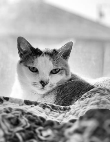 Backgrounds One Animal Animal Themes Animal Pets Mammal Domestic Domestic Animals Vertebrate Cat Feline No People Domestic Cat Portrait Selective Focus Indoors  Close-up Animal Body Part Animal Head  Looking At Camera Relaxation