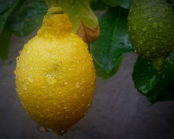 Water Drops On Lemon Lemon In The Greenhouse Water Drops On Lemon Lemon In The Greenhouse Fruit Food And Drink Food Freshness Yellow Citrus Fruit Drop Water Ripe