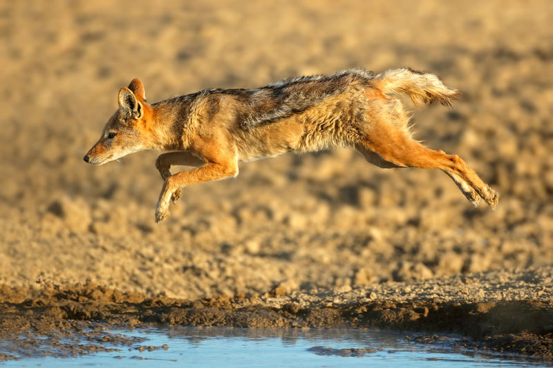 Jackal jumping by lake