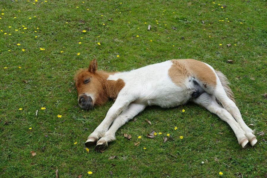 A baby pony lying on its side. Animal Baby Pony Black Color Day Domestic Animals Field Foal Foal In Field Grass Grassy Green Color Growth Lying Down Mammal Nature No People Outdoors Pets Pony Pony Lying On Its Side Relaxation Resting