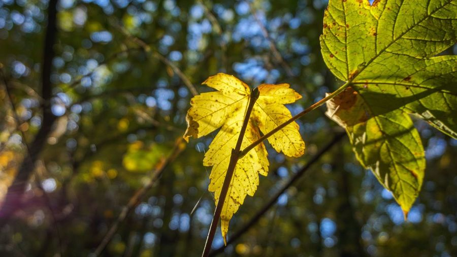 Leaf Plant Part Plant Tree Autumn Nature Focus On Foreground Yellow Change Close-up Growth Beauty In Nature Leaf Vein No People Day Low Angle View Outdoors Leaves Branch Sunlight