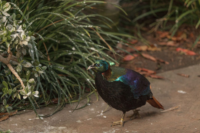 Himalayan Monal, Lophophorus impeyanus, is a colorful bird related to the peafowl and pheasant. Lophophorus Impeyanus Bird Colorful Bird Day Feather  Himalayan Monal Irridescent No People Outdoors Peafowl Pheasant Wildbird