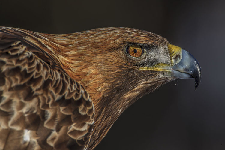 Sweden Västerbotten Animal Animal Eye Animal Head  Animal Themes Animal Wildlife Animals In The Wild Beak Bird Bird Of Prey Birds Eye Black Background Close-up Eagle Eagle - Bird Golden Eagle Golden Eagle Portrait Looking Away Nature No People Norrland One Animal Profile View Side View