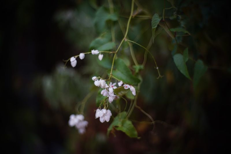 flower image from cinema lens, Taylor Hobson cooke ivotal 50 mm. f/1.4 anastigmat Cinema Lens Anastigmat 50mm Ivotal Cooke Taylor Hobson Manual Lens Manual Focus Flower Plant Flowering Plant Growth Beauty In Nature Fragility