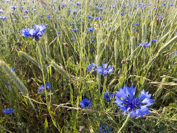 Agriculture Backgrounds Blossom Blue Blue Flowers Bluebottles Cereal Plant Cornflower Cornflower Blue Countryside Cyanus Field Flower Grainfields Green Growth Herb Kornblume Meadow Nature Plant Rural Summer Wild Wildflower