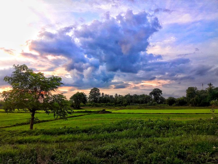Tree Beauty In Nature Green Color Field Cloud - Sky Agriculture No People Nature Sky Outdoors Growth Sunset Grass Scenics Freshness Day